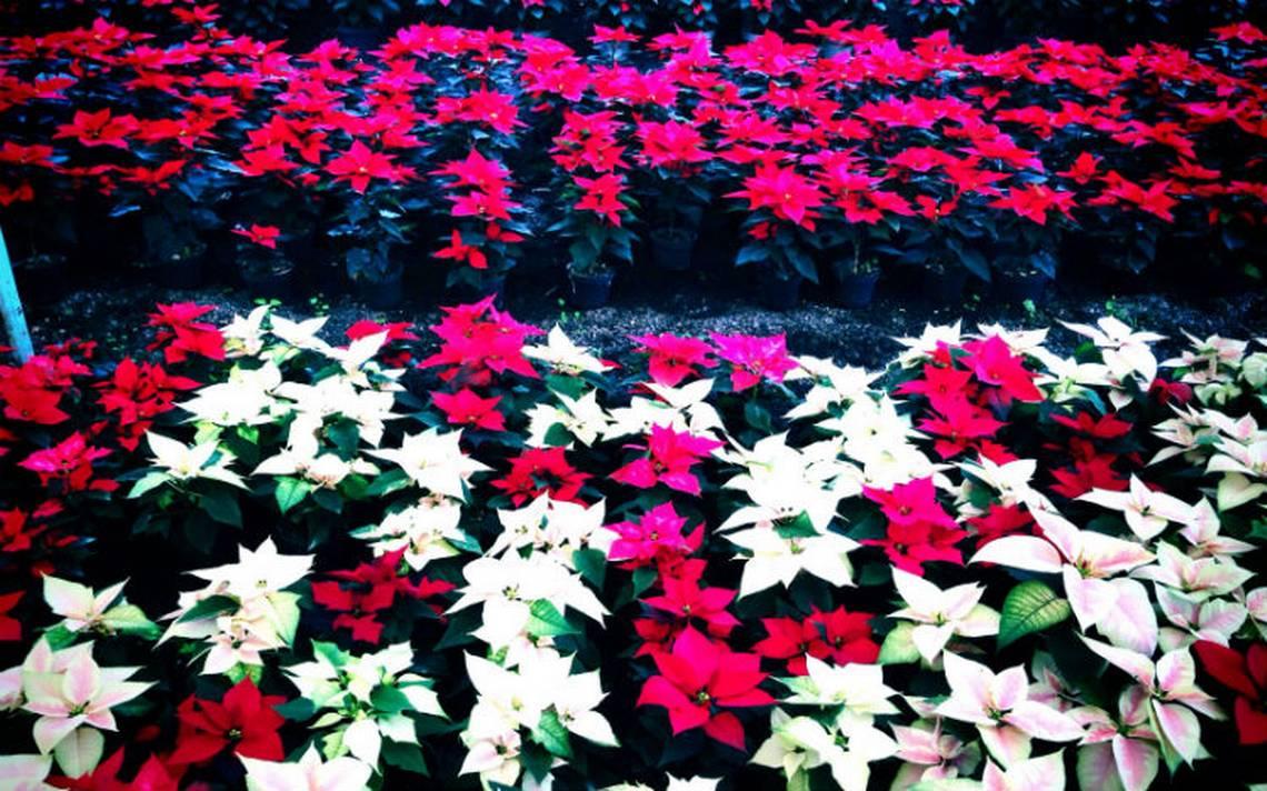 Nochebuena-flor-michoacan.jpg