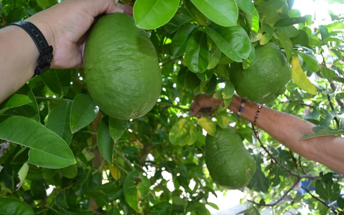 chihuahua-arbol-limones-gigantes2.JPG
