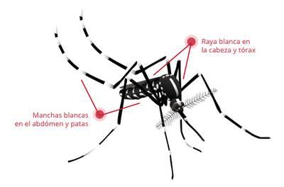 como diferenciar un zancudo del dengue