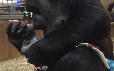 153c3cb0dbe4 Nace gorila en peligro de extinción y es recibido a besos por su madre - El  Sol de México