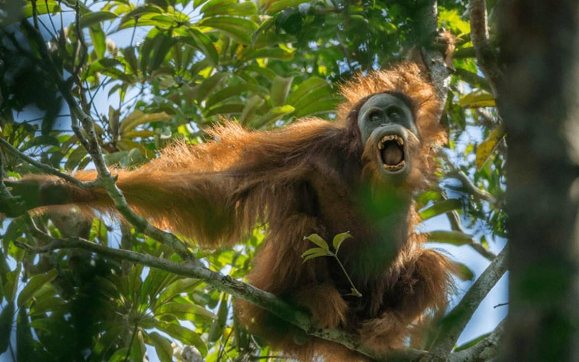 orangutan3.jpg
