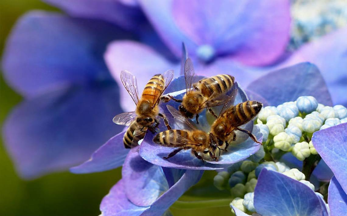 Abejas-flores-polen.jpg