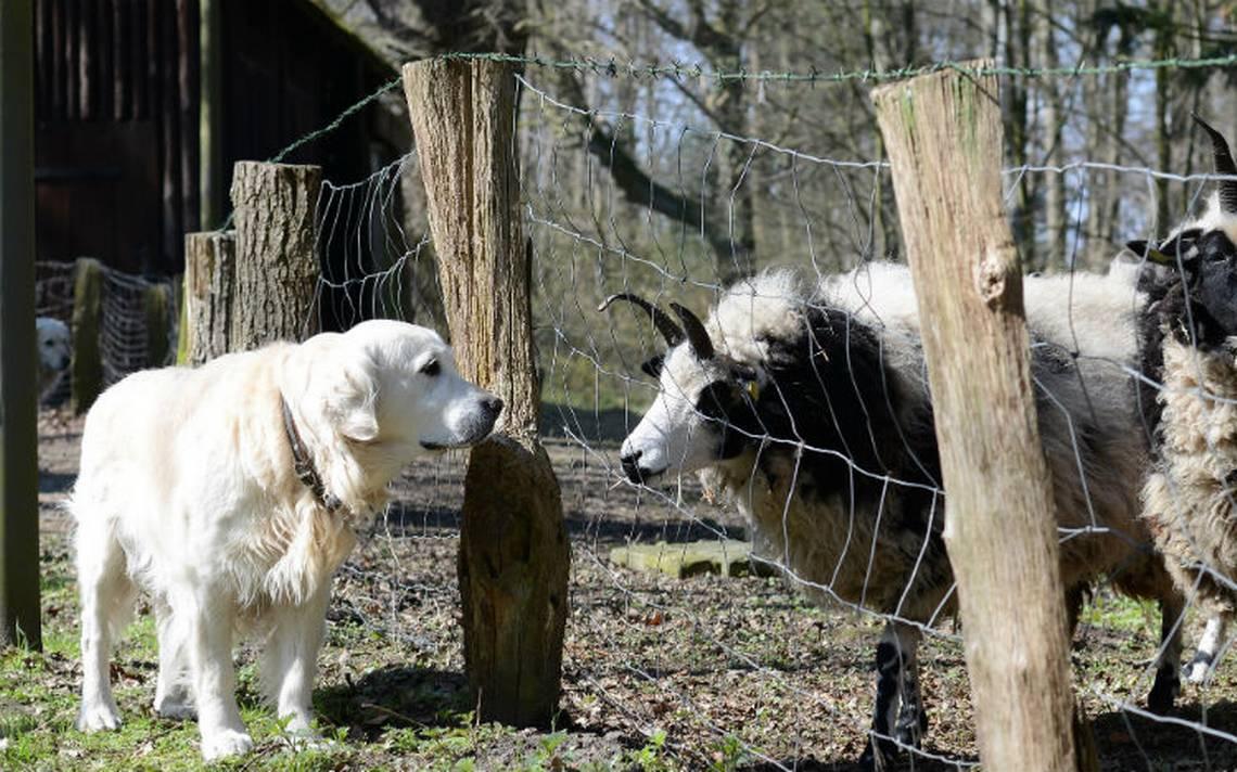 Experimento-perros-cabra.jpg