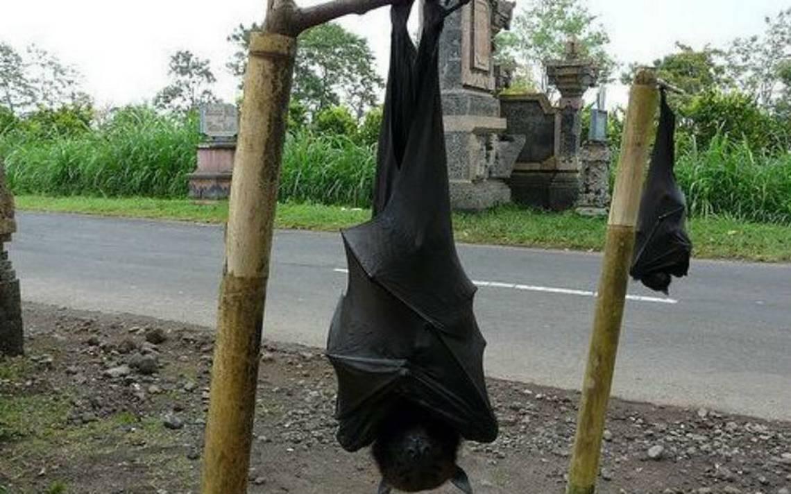 Zorro-volador-filipino2.jpg