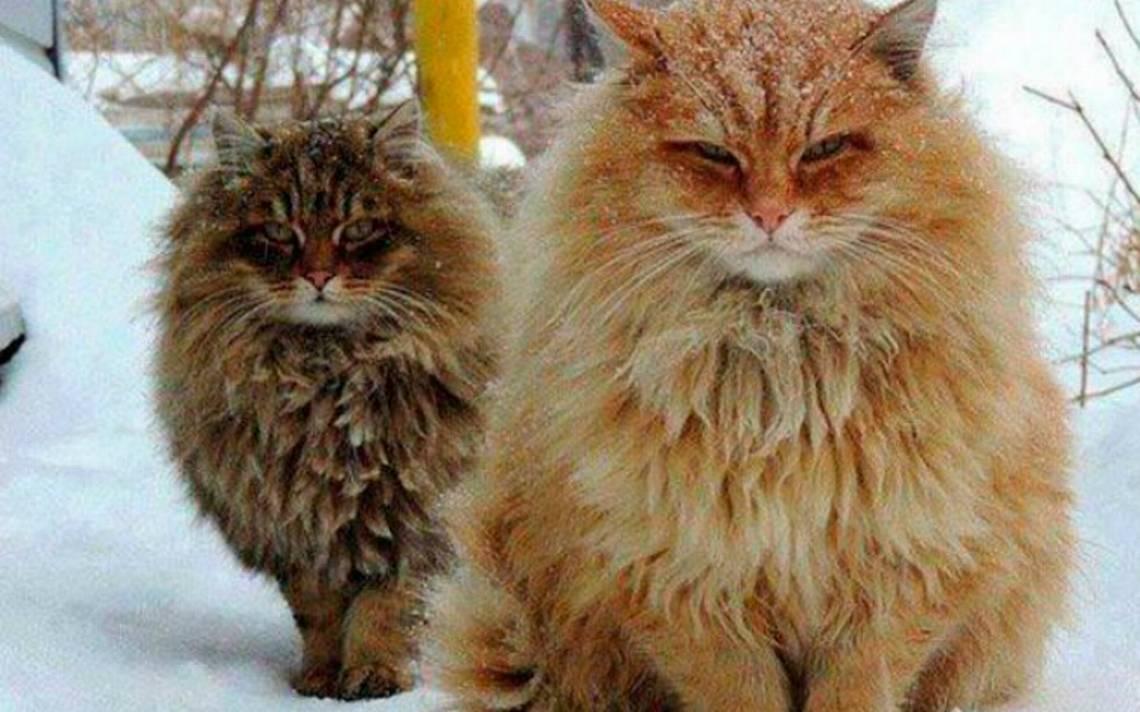 Granja-gatosiberianos-rusia.jpg