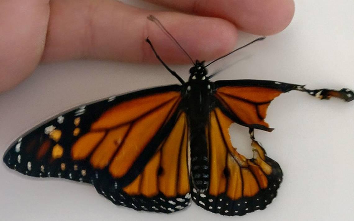 mariposa-ala-5.jpg