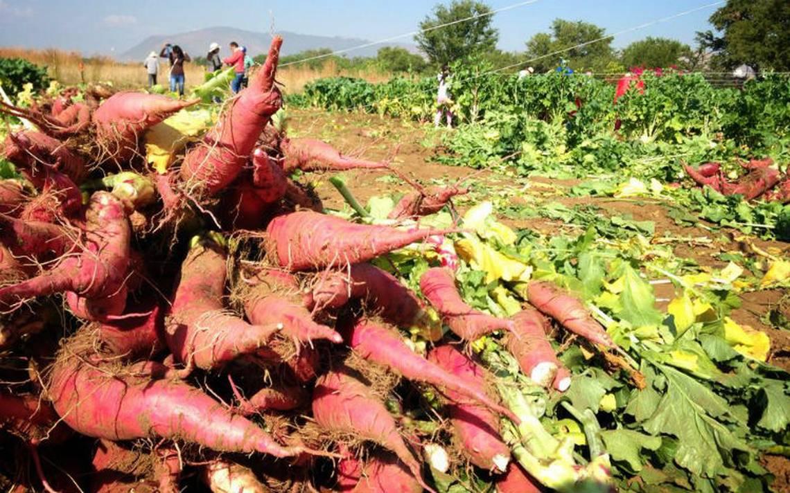 Cultivo-rabanos-oaxaca.jpg