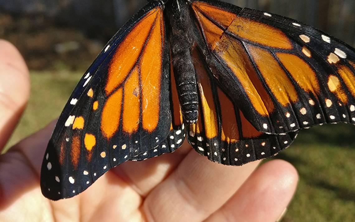 mariposa-ala-1.jpg