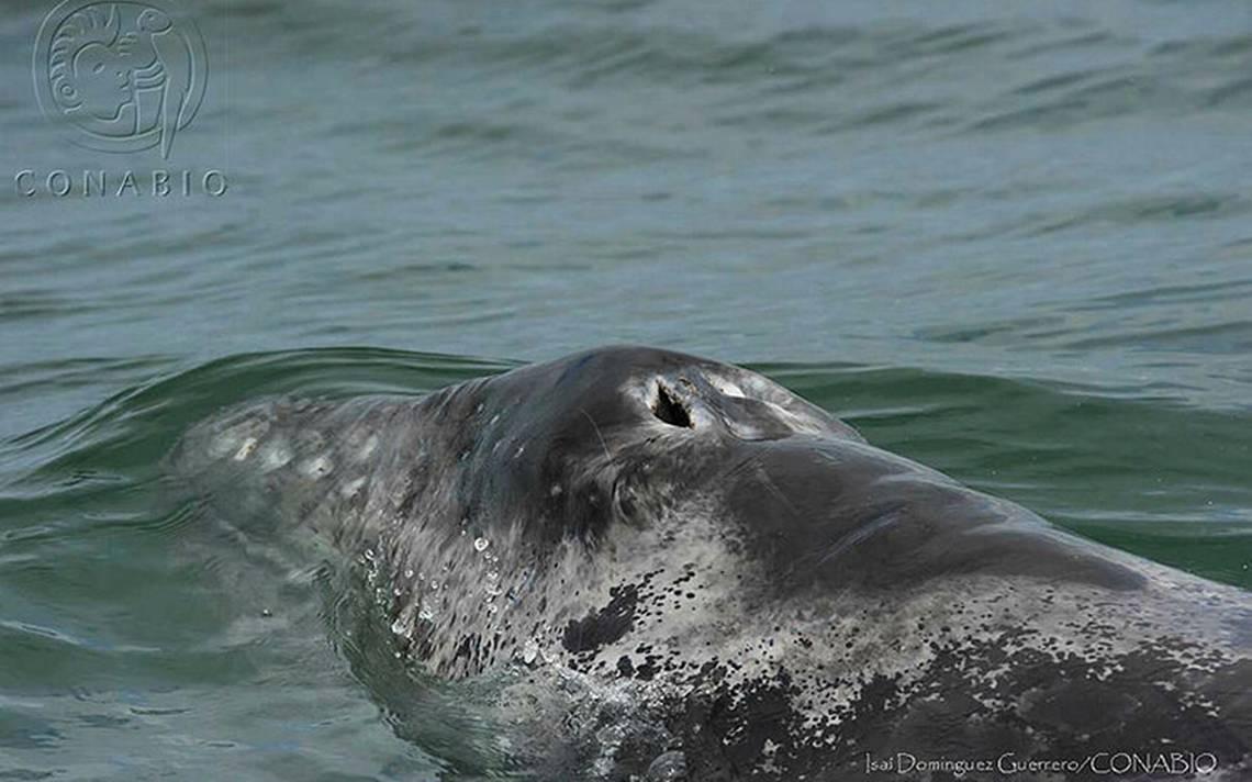ballena-gris.jpg