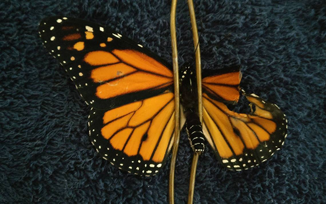 mariposa-ala-3.jpg