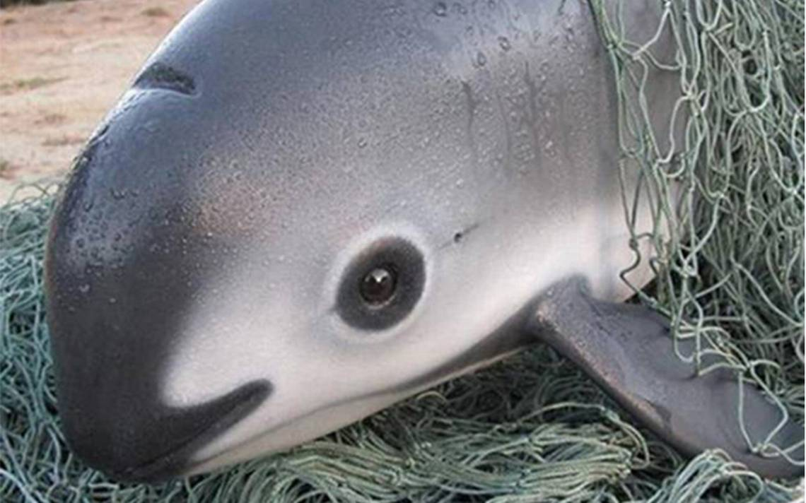 vaquita-marina.jpg