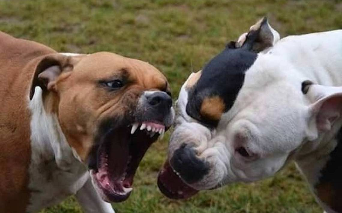 Resultado de imagen para pitbull