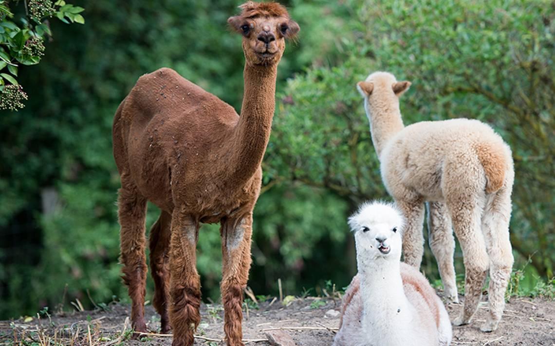 alpacas-mascotas-1.jpg