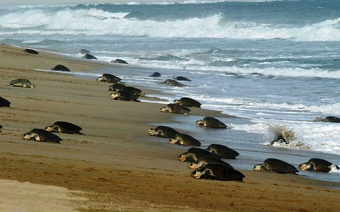 Tortugas-oaxaca-proteccion.jpg